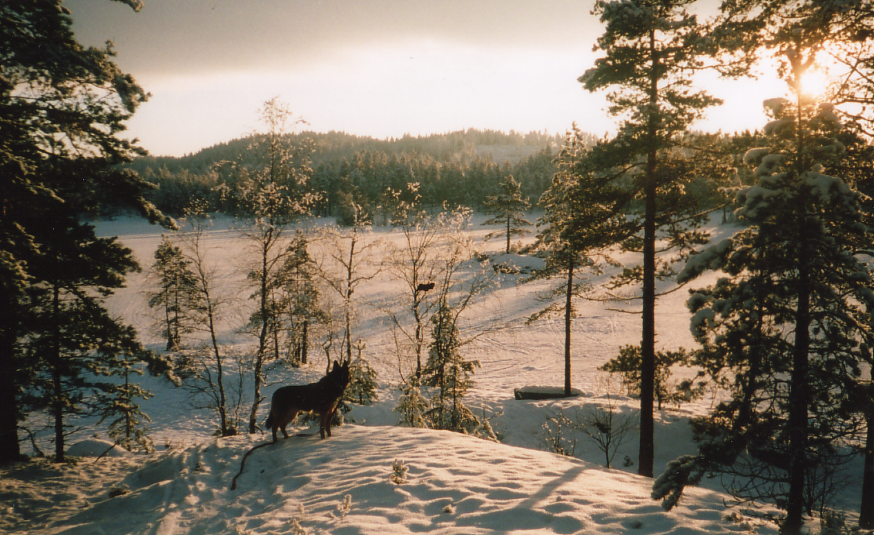 Bilde av hunden Tonto i snøen med utsikt over vannet og solnedgangen